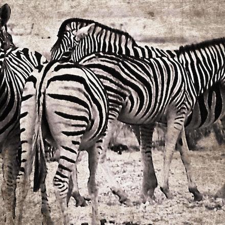 Confusing the Predator - Zebra herd in Namibia/SW Africa.