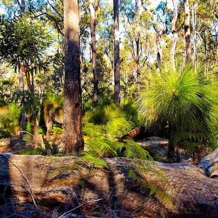Dwellingup Forest 01 - Typical Australian bush scene with Blackboy and Gum trees.