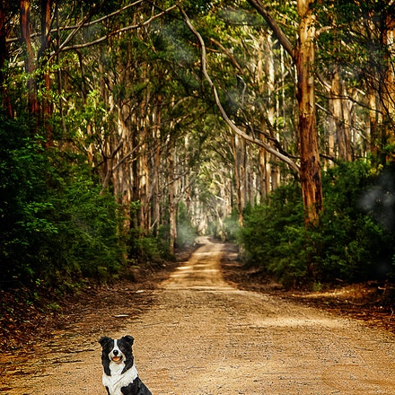 On the Road to.... - A Border Collie waits patiently on a track near Pemberton SW Western Australia.