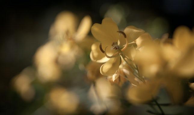 Golden delights.. - Toowoomba, Australia.