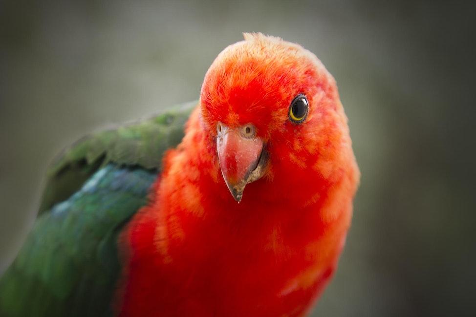 112 King Parrot