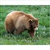 10x8 Brown Bear 2K3A1665