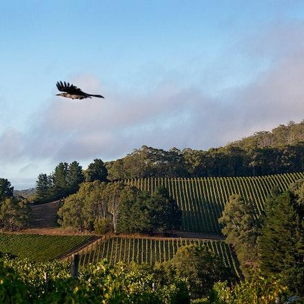 sml Adelaide Hills Vineyards SA