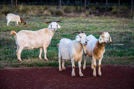 2 - Goats