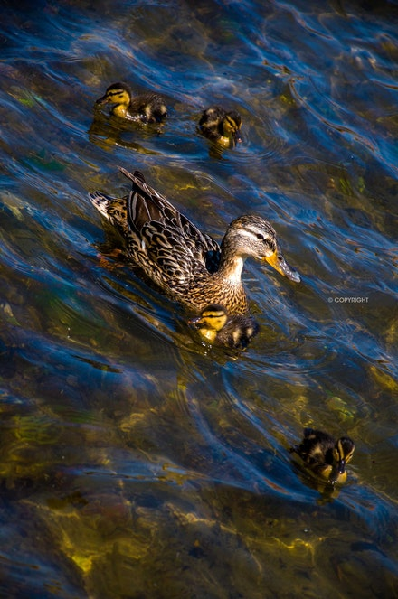 5 - Mother duck with ducklings