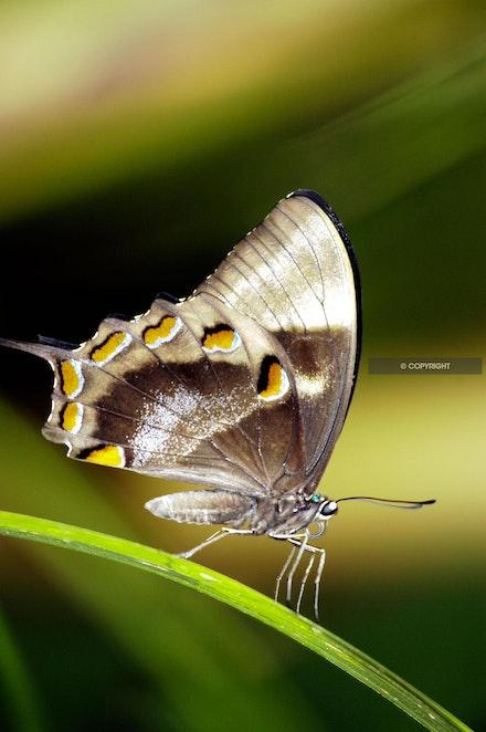 10 - Silver-butterfly