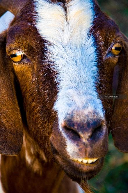 1 - Smiling goat