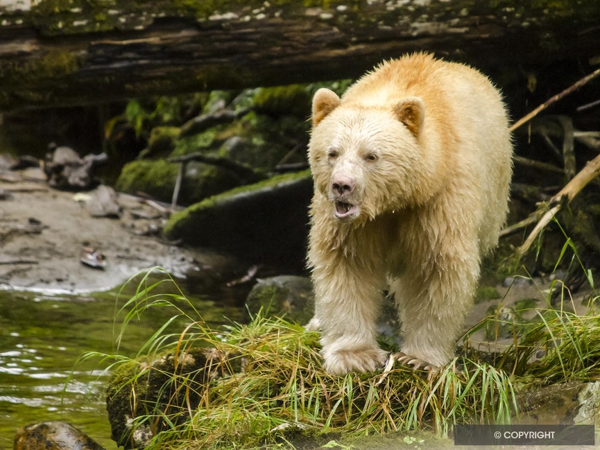 Spirit Bear Speaks - Spirit bear walking in the Great Bear Rainforest, British Columbia, Canada