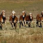 Haflingers Run Free