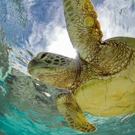 Hopeful turtle - A green sea turtle cruises through Lady Elliot Island's underwater wonderland.