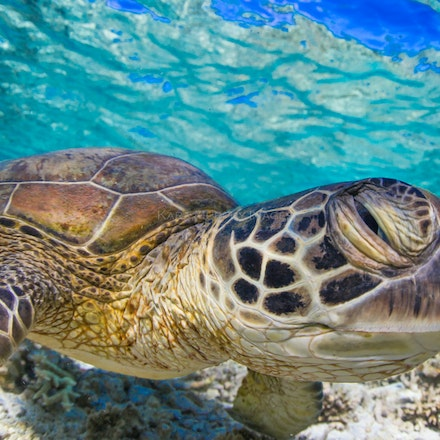 Winking turtle - A friendly green sea turtle swims in the underwater world off Lady Elliot Island.