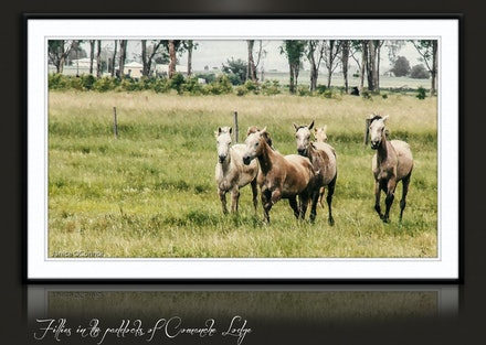 The Herd Thanks You - Your purchase supports the Comanche Lodge herd of Arabain horses.