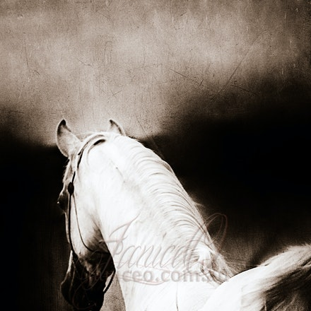 New Year Brown - Purebred Arabian white stallion, Silver Wind Van Nina. Digital painting based on a photo by Sharon Meyers Photography.