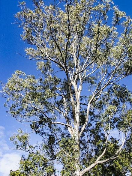 Ghost Gum 4 - Stark against the noonday winter sky.
