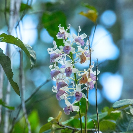 Durabaculum nindii , Blue Antler Orchid - Durabaculum nindii, orchids, wet tropics plants , Blue Antler Orchid, this one was flowering out of season  (February)...