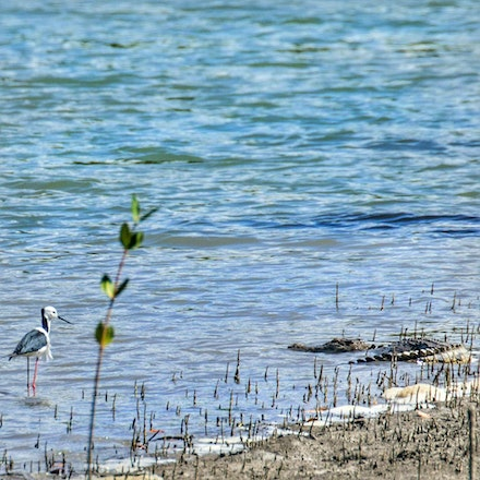 Mary and black winged stilt - Crocodile,  waders, wet tropics wildlife,  black winged stilt