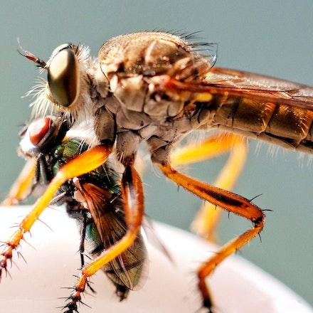 Robber fly, Assasin fly, Family:Asilidae - Robber fly, Assasin fly, Family:Asilidae , insects, Daintree, wet tropics
