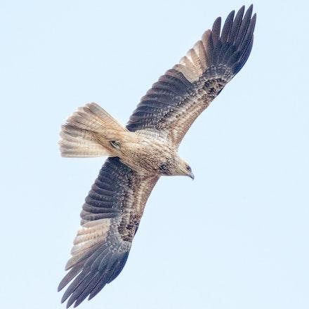 Whistling Kite, Haliastur sphenurus - Whistling Kite, Haliastur sphenurus ,raptors