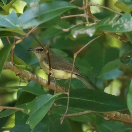Grey Whistler Pachycephala simplex - Grey Whistler Pachycephala simplex