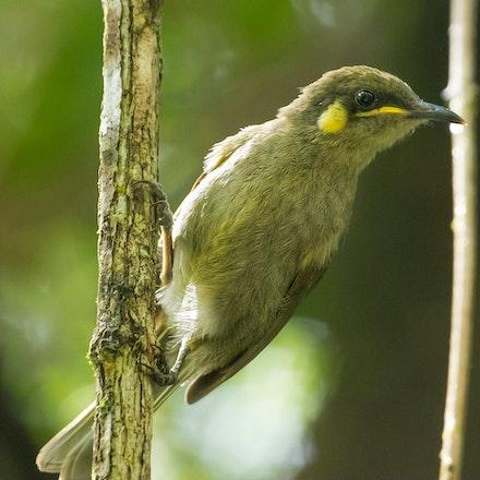 Yellow spotted honeyeater, Meliphaga notata - Yellow spotted honeyeater, Meliphaga notata