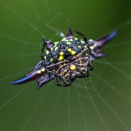 Northern Jewelled spider ,