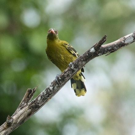 Green Oriole, Oriolus flavocinctus - Green Oriole, Oriolus flavocinctus